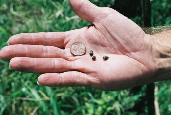 Small sunflower seeds are the foundation of a good dove field, especially an early season field.