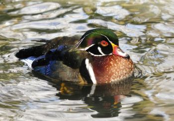 North Carolina waterfowl hunters will have a six-duck daily bag limit for the 2013-14 season, but they can take no more than three wood ducks per day.