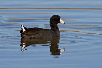 The author was so enthralled with stories of varmint hunting when he was young that he resorted to shooting coots with a .257 Roberts — not realizing doing so was illegal.