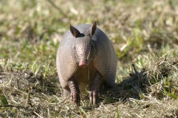 Armadillos can destroy a field, rooting up the ground in its search for food. That makes them perfect targets for varmint hunters, since no one complains when they are shot.