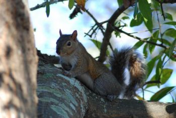 Squirrel activity will increase as deer season ends and the winter mating season for bushytails begins.