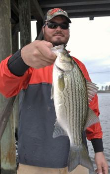 The striped bass fishery in the Albemarle and Roanoke sounds is healthy, despite lower population numbers.