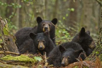 The N.C. Wildlife Resources Commission voted Thursday to allow baiting of bears by still-hunters across the state.