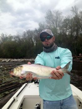Guide Allen Cain has been catching plenty of big American shad in the Cape Fear River below Lock and Dam No. 1 near Rieglewood.