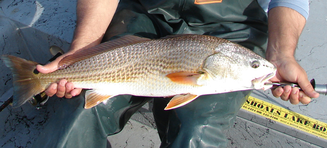 Red drum perking up in creeks in southern Brunswick County