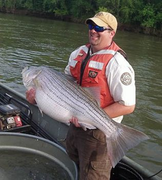 Biologist Jeremy McCargo hefts a 59 1/2-pound striper that was netted during an electroshocking trip on the Roanoke River last week.