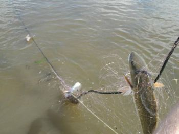 On June 1, commercial fishermen will be able to put large-mesh gill nets back in the water in five areas where there's little chance of encountering turtles and red drum.