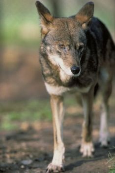 The federal protection of red wolves in five eastern North Carolina counties apparently trumps the state's right to manage coyotes, according to a federal judge's decision.