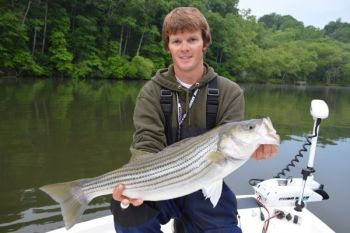 Guide Colt Bass said striper fishing at Lake Hickory has bounced back this year after a poor 2013 season.