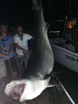 Weighed several hours too late to win the Thirsty Fish Shark Tournament, this 14-foot tiger shark was still the biggest hit at the dock.