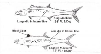The black spot on the dorsal fin of the Spanish mackerel is the single factor that most distinguishes it from king mackerel of similar sizes.