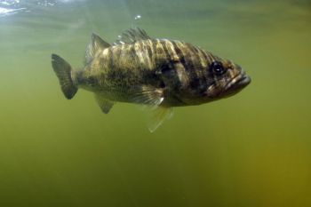 Bass may move closer to the surface in August on some lakes, but you're more likely to have success fishing in deep water.