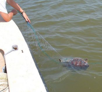 Fishing with large-mesh gill nets in the Currituck and Albemarle sounds will face further restrictions because of problems protecting endangered sea turtles.