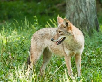 The S.C. Department of Natural Resources is developing programs to help landowners deal with coyotes.