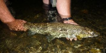 Big trout like this brown will often hit a spinner when nothing else works.