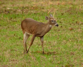 Lush, green food plots really become deer magnets when early-season foods disappear and mast is consumed.