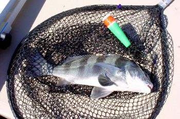 Gamefish such as black drum are often found along windy banks because the wind creates current that pushes bait into those areas.