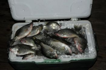 Plenty of crappie are being caught at night by fishermen putting out lights.