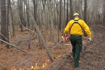 Prescribed burning of stands of pines is a  primary tool for managing wildlife habitat, including quail.