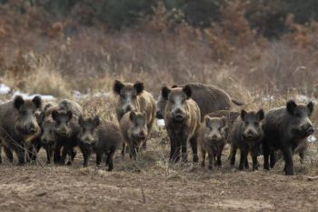 SCDNR will hold three hog hunts on North Island next month try to and control and/or eliminate the feral hog population.