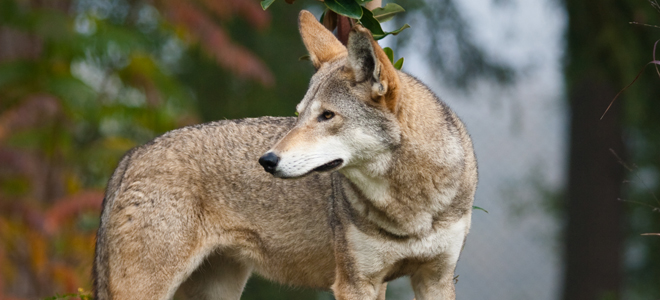 Commission wants USFWS to end red wolf program in NE North Carolina