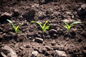 Young corn plants do best when seeds are planted when soil temperatures are 65 to 70 degrees.