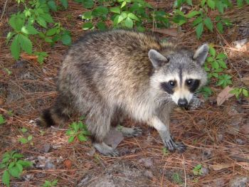 Raccoons and other egg-eaters are the primary reason for poor reproduction of wild turkeys.