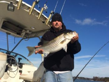 Lake Norman's striped bass are out of their winter doldrums and hitting trolled Alabama rigs.