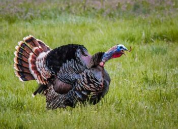 The N.C. Wildlife Resources Commission wants your turkey legs -- but not the edible part!