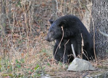 North Carolina hunters tagged 16-percent fewer bears during the 2014 season than in 2013; biologists think a huge acorn crop was the big reason.