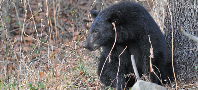 Bear harvest is off 16 percent, despite baiting being allowed for first time