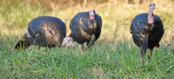 North Carolina hunters tagged 17,828 turkeys during the spring season that ended early last month, the second-highest harvest on record.