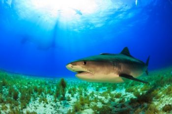 Tiger sharks are not uncommon around nearshore reefs off the coasts of the Carolinas, and they can grow to impressive sizes.