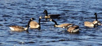 Populations of resident Canada geese have exploded over the past 20 years, leading to the birds becoming something of a nuisance.