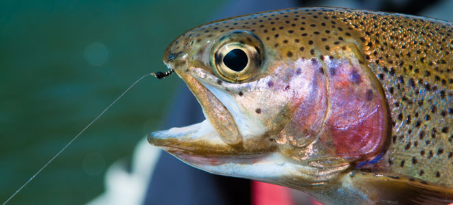 Whirling disease is discovered in rainbow trout from Watauga River