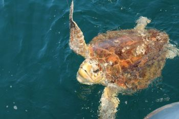 A $7,500 reward has been offered and state wildlife and marine fisheries are looking for information about the bludgeoning death of a protected loggerhead turtle the last week of July on North Core Banks.