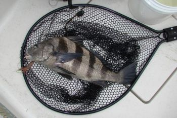 Black drum are ignoring the heat and chowing down on live or cut shrimp in the waters around Ocean Isle.