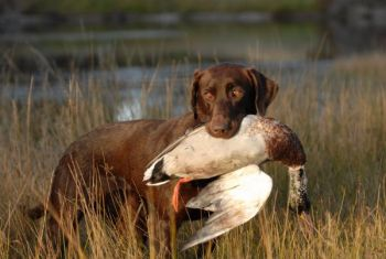 North Carolina waterfowlers will have plenty of opportunity to knock down ducks and geese this fall and winter.