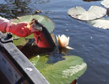 Hollow-body frogs are deadly in lily pads and other surface weeds