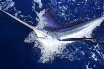 This month, anglers from all over the world head to the Outer Banks to chase white marlin