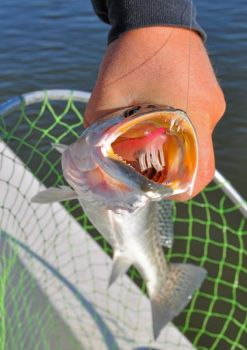 When shrimp leave inshore waters in the fall, artificial lures will begin to outfish live baits for trout.