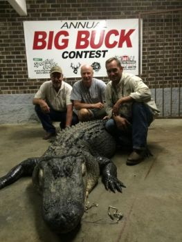 This 800+ pound gator was taken near Pack's Landing by Chad Huffman and friends.