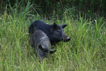 Shooting hogs can help control their populations, but it's important to take precautions when cleaning them so you don't contract any of the several contagious diseases the animals carry.