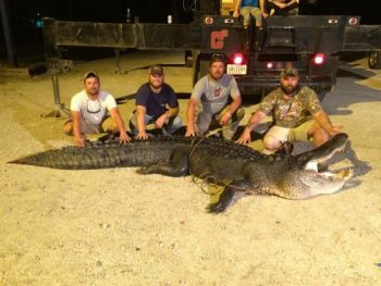 Four friends whacked this gator that measured just shy of 13-feet long.