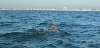 This 8-point buck was spotted swimming more than 1/2-mile offshore out of Carolina Beach.