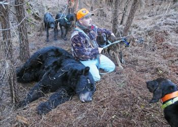 A hunter who downed this huge male bear waits for help with Plott hounds who bayed the 450-pound bruin.