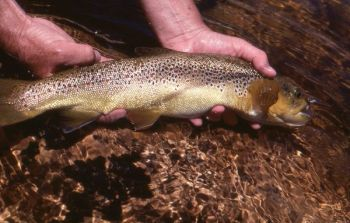Big brown trout are prime targets for cold-weather fishing, during their fall spawn or into winter.