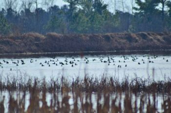 Big rafts of ducks on open water offer sanctuary for heavily pressured fowl looking for resting areas while migrating.