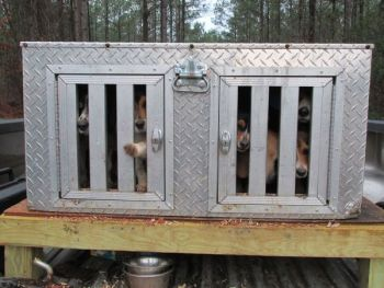 A pack of beagles in the dog box is raring to go in cottontail rabbit territory.