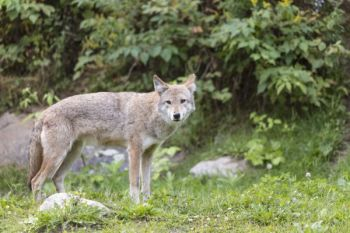 Coyotes are quite populous in South Carolina, but how did they get here?